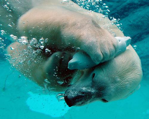 動物園の白クマの画像